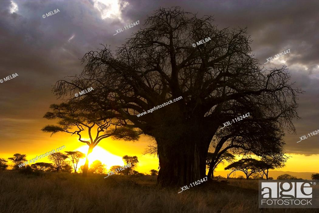 Stock Photo: Baobab tree Tarangire National Park Tanzania Africa.