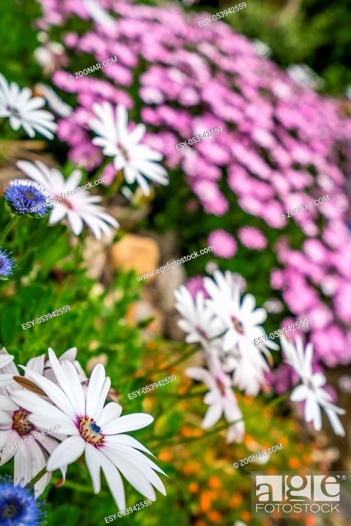 Stock Photo: Beautiful white and violet daisy flowers on a green meadow in summer.