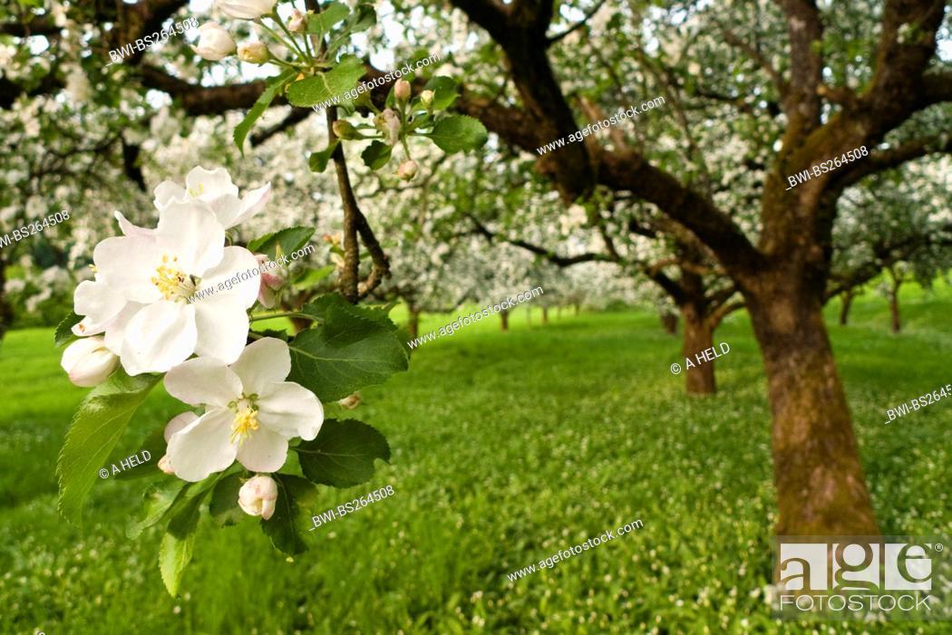 Stock Photo: apple tree Malus domestica, blooming twig, Germany, Baden-Wuerttemberg.