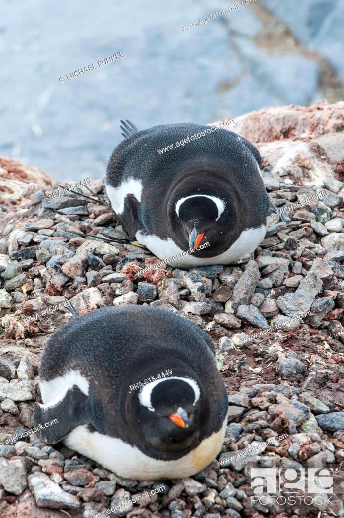 Stock Photo: Adelie penguins (Pygoscelis adeliae), Port Lockroy research station, Antarctica, Polar Regions.