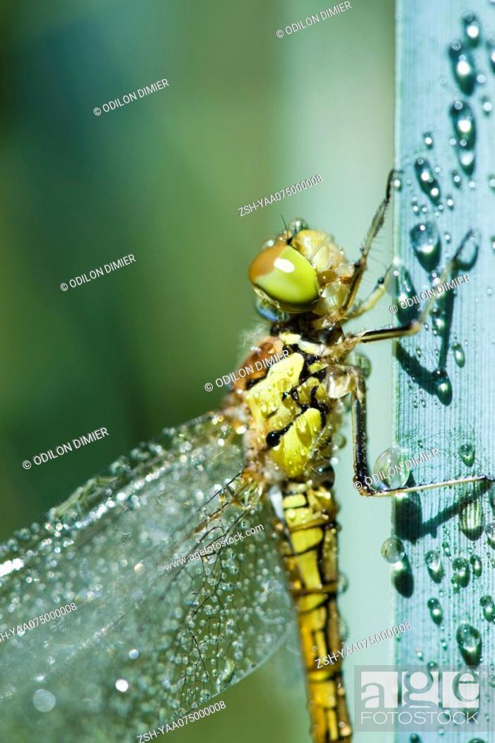 Stock Photo: Wet dragonfly on plant stalk.