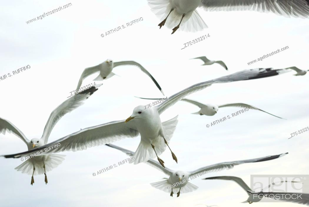Stock Photo: Gulls flying across the sky in search of food as they follow a cruise ship leaving a port.