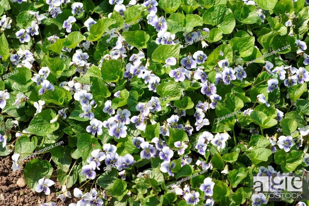 Stock Photo: Viola sororia, Pfingstveilchen, Wild violet.