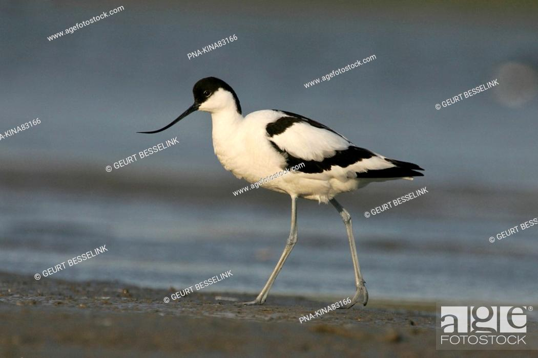 Stock Photo: Pied Avocet Recurvirostra avosetta - Wagejot, Texel, Wadden islands, North Holland, The Netherlands, Holland, Europe.