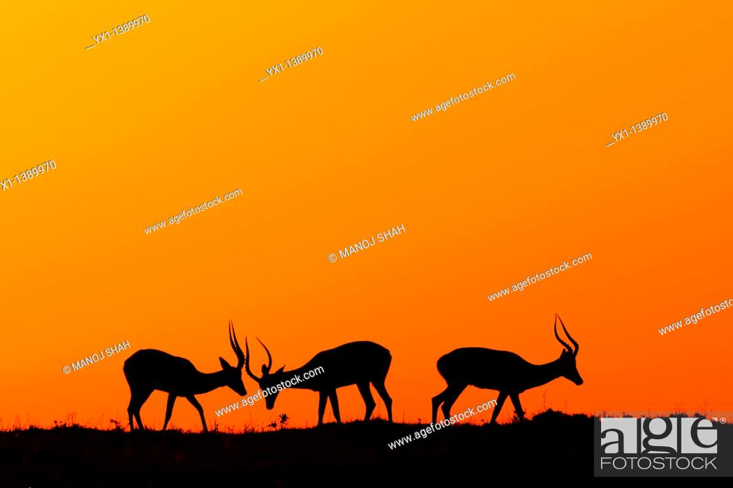 Stock Photo: The early morning rising sun paints the sky scarlet. During the rutting season, males fight fiercely for possession of females.