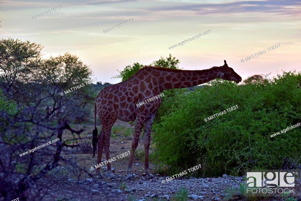 Stock Photo: Giraffe taking a look at an acacia in the Etosha National Park at sunset time, taken on 05.03.2019. The Giraffe (giraffa) belongs to the pairhorses and with a.