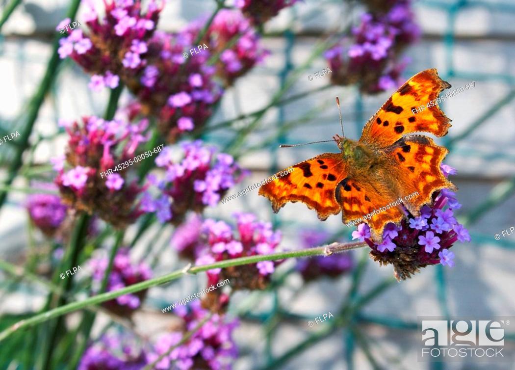 Stock Photo: Comma Polygonia-c-album adult, feeding on Perennial Wallflower Erysimum Bowles Mauve in garden, England, summer.