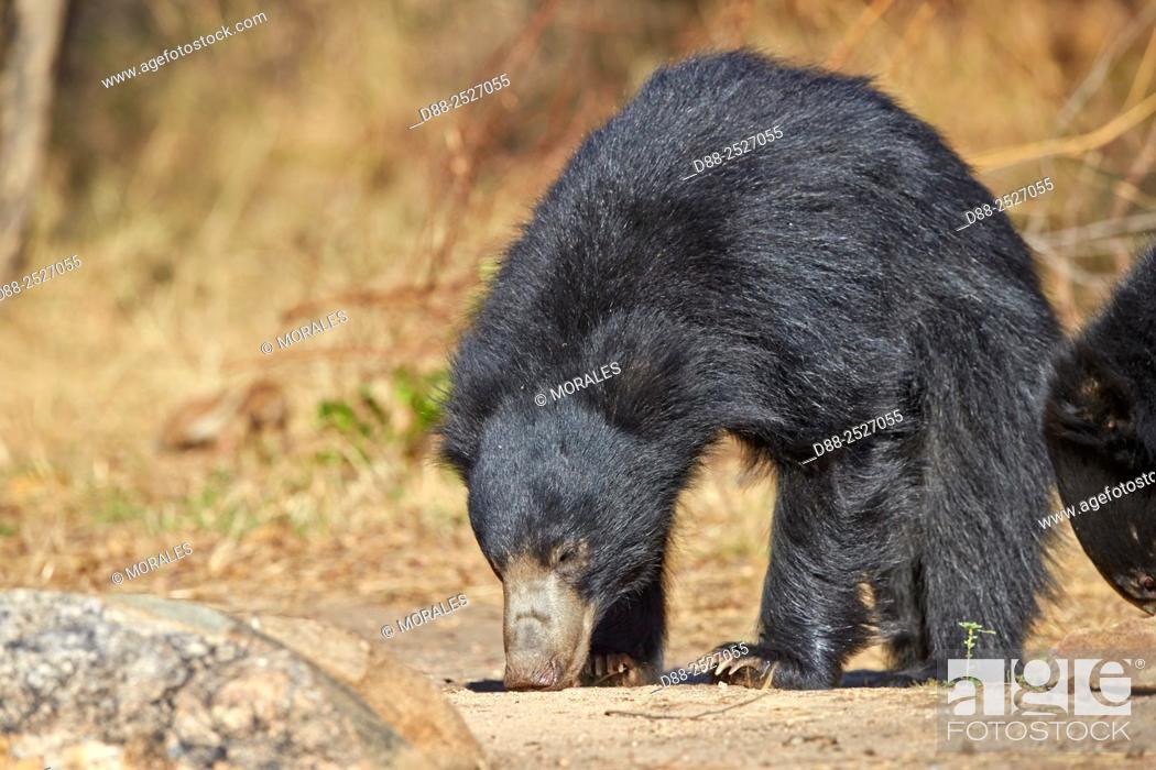 Stock Photo: Asia, India, Karnataka, Sandur Mountain Range, Sloth bear Melursus ursinus, .
