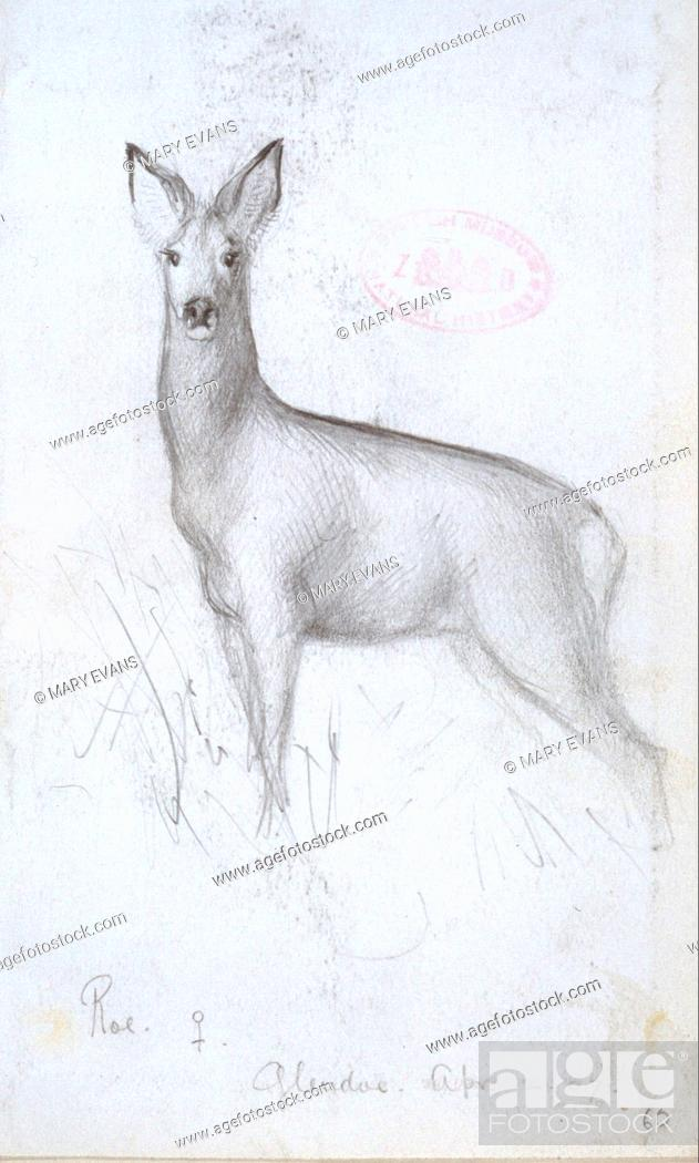 Stock Photo: Plate from a collection of pencil sketches and watercolour drawings of British mammals c. 1890-1910 by Edward Adrian Wilson (1872-1912).
