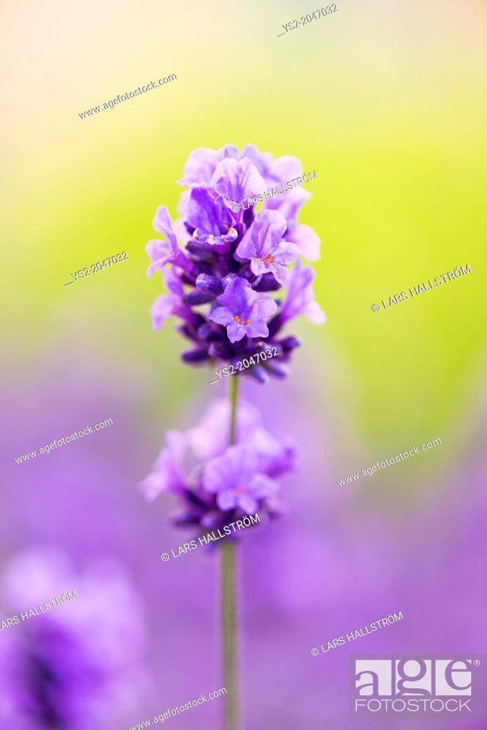 Stock Photo: Closeup of purple lavender flower in herbal garden in summer.