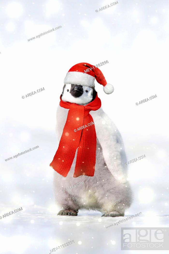 Stock Photo: Emperor Penguin - chick wearing Christmas hat and scarf.