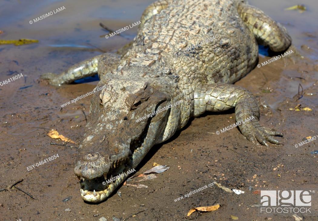 Stock Photo: Sacred crocodile in Sabou, Burkina Faso, Africa.