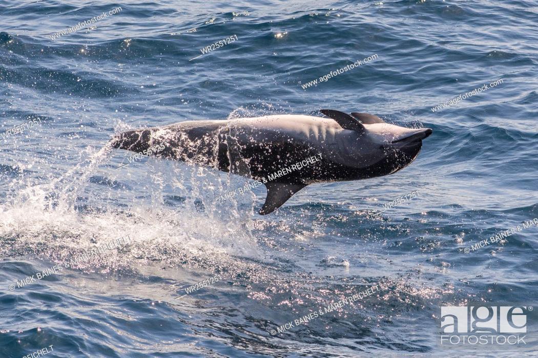 Stock Photo: Clymene dolphin (Stenella clymene) spinning, caught belly uppermost, Senegal, West Africa, Africa.