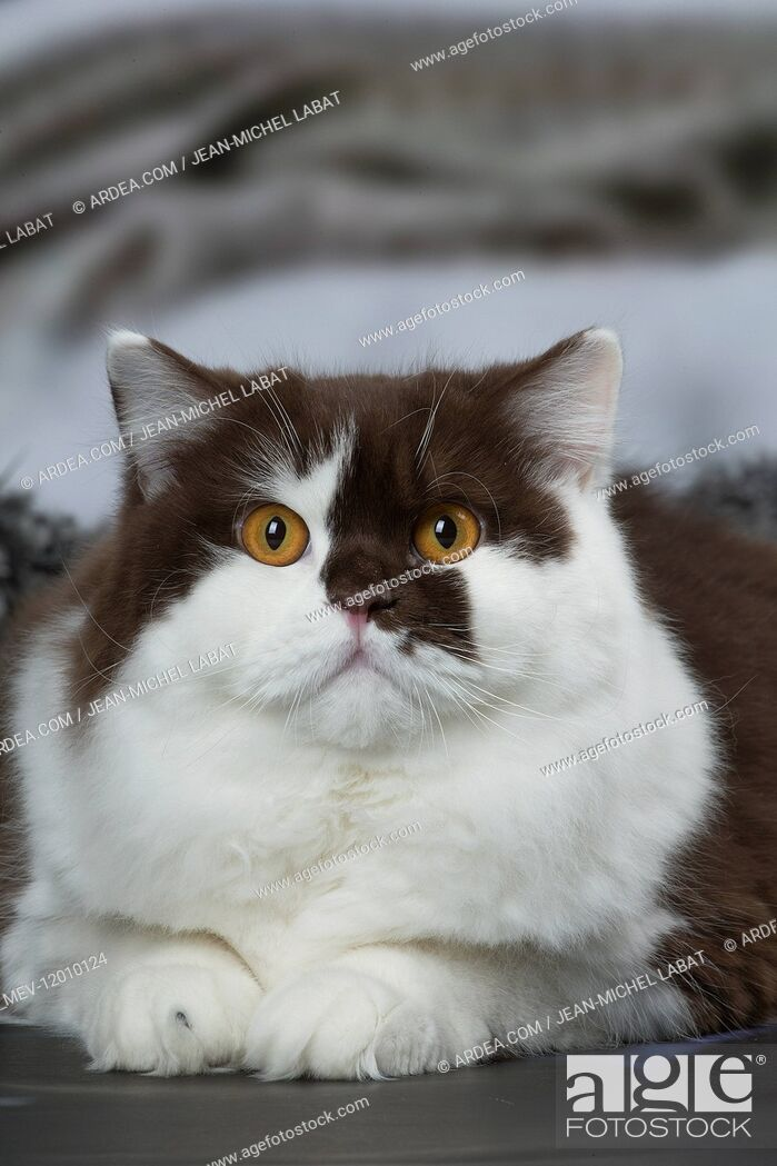 Stock Photo: White and chocolate British Longhair cat indoors.
