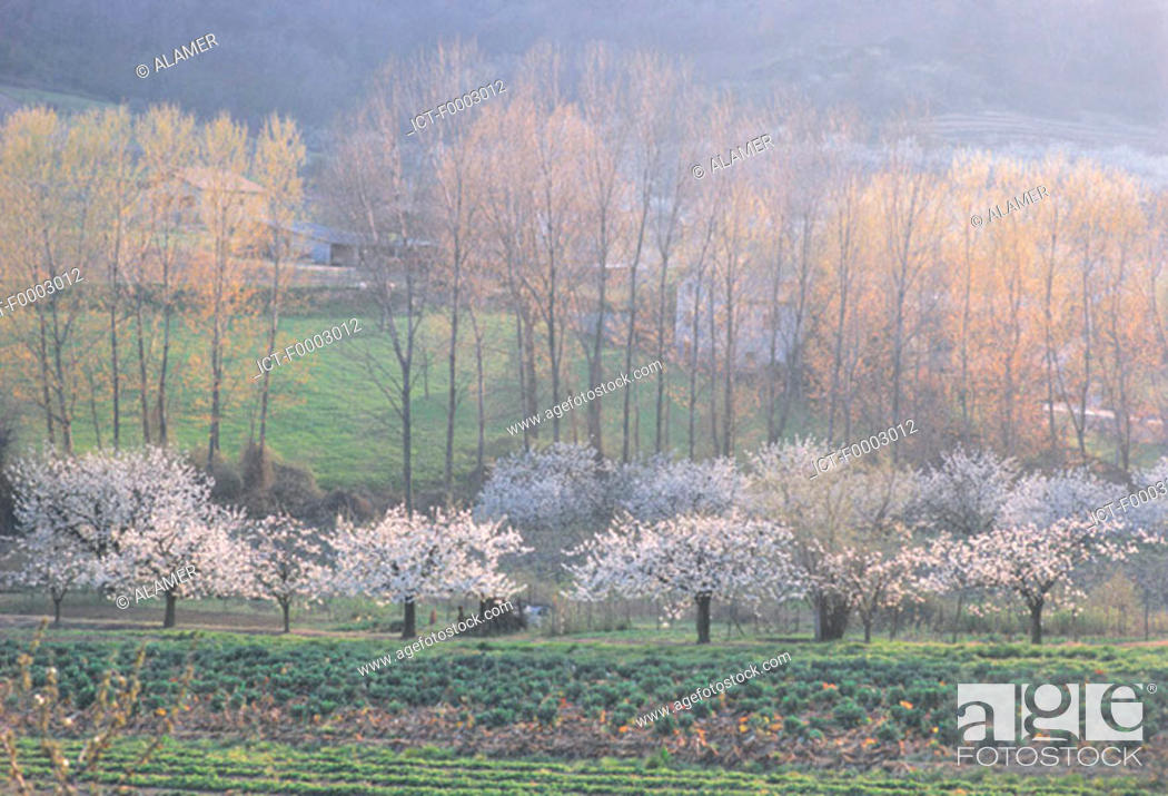Stock Photo: France, the Cevennes, cherry trees and countryside.