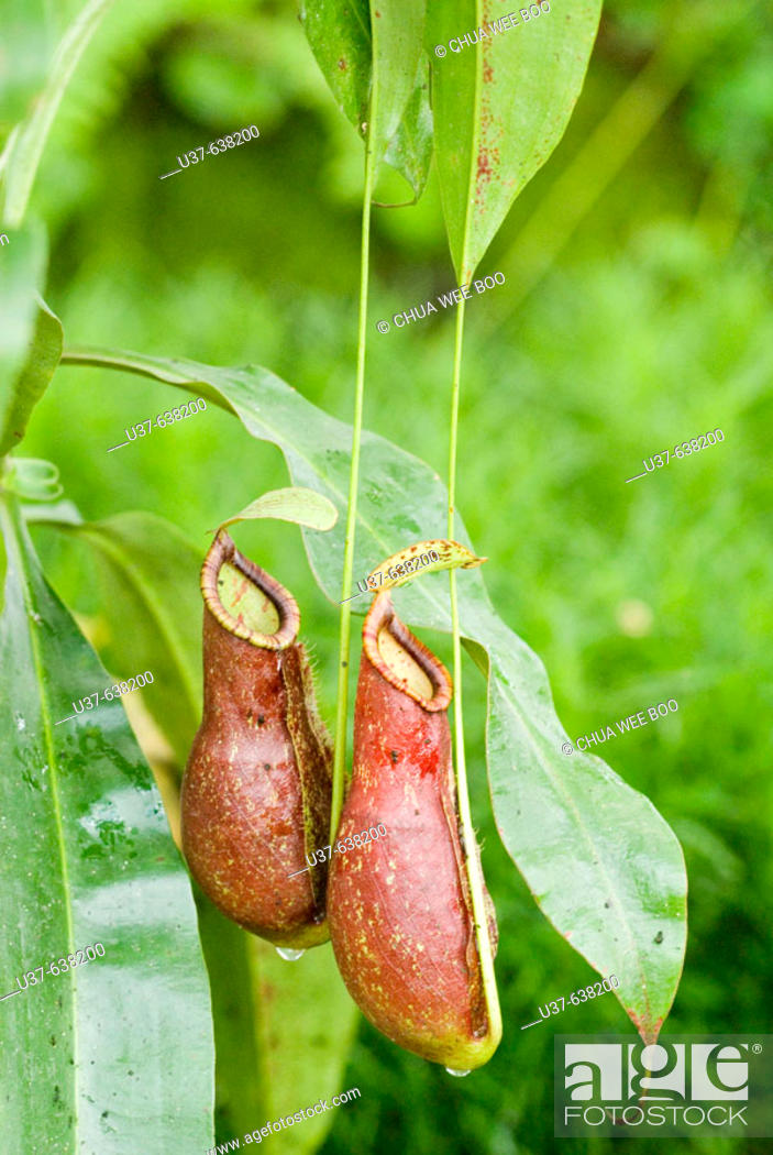 Stock Photo: Nepenthes alata (Highland spp). An endemic to the Philippines, pitcher grows to the length of 3-5.Typically bulbous in the lower half and cylindrical above.