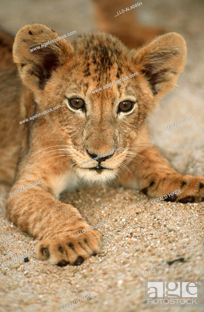Stock Photo: Close-up of a Lion Cub Panthera leo Lying in the Sand  Ngala Private Reserve, Limpopo Province, South Africa.