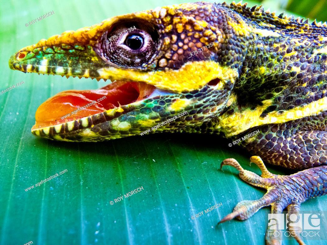 Imagen: Cuban knight anole, Lizard, Florida.
