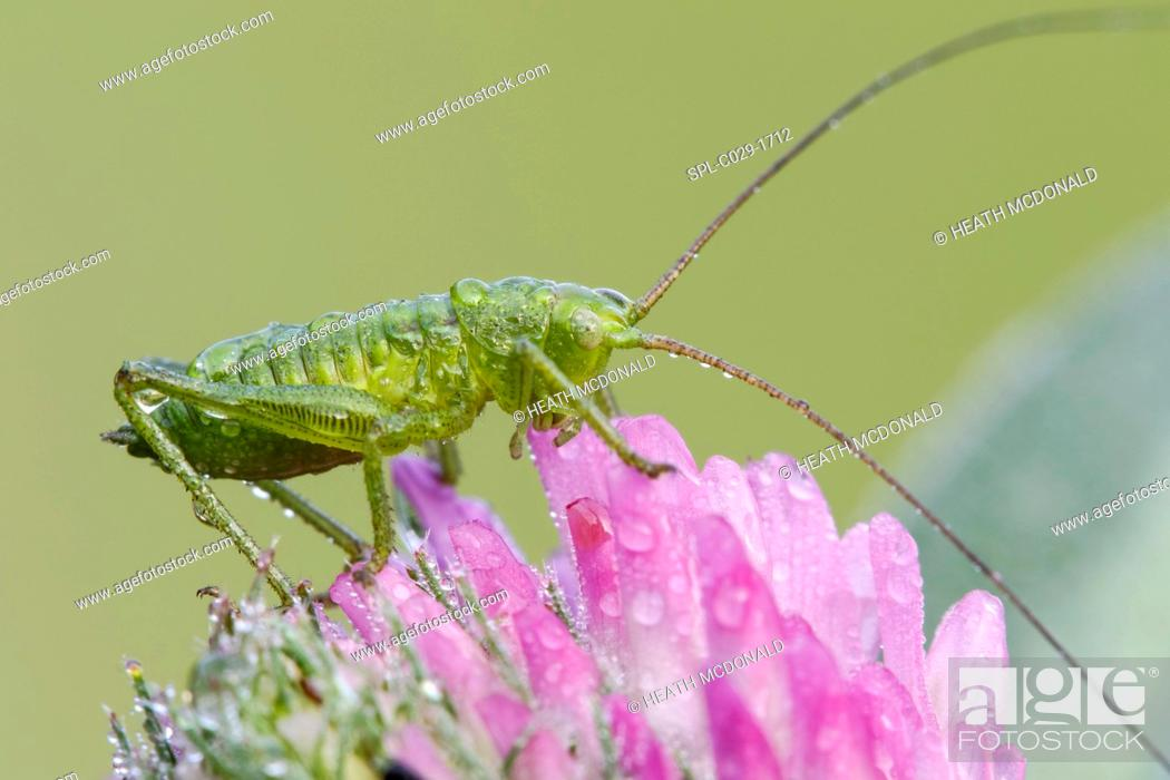 Stock Photo: A dew covered species of juvenile bush cricket (family Tettigoniidae) resting on a red clover on a cool late spring morning in a meadow.