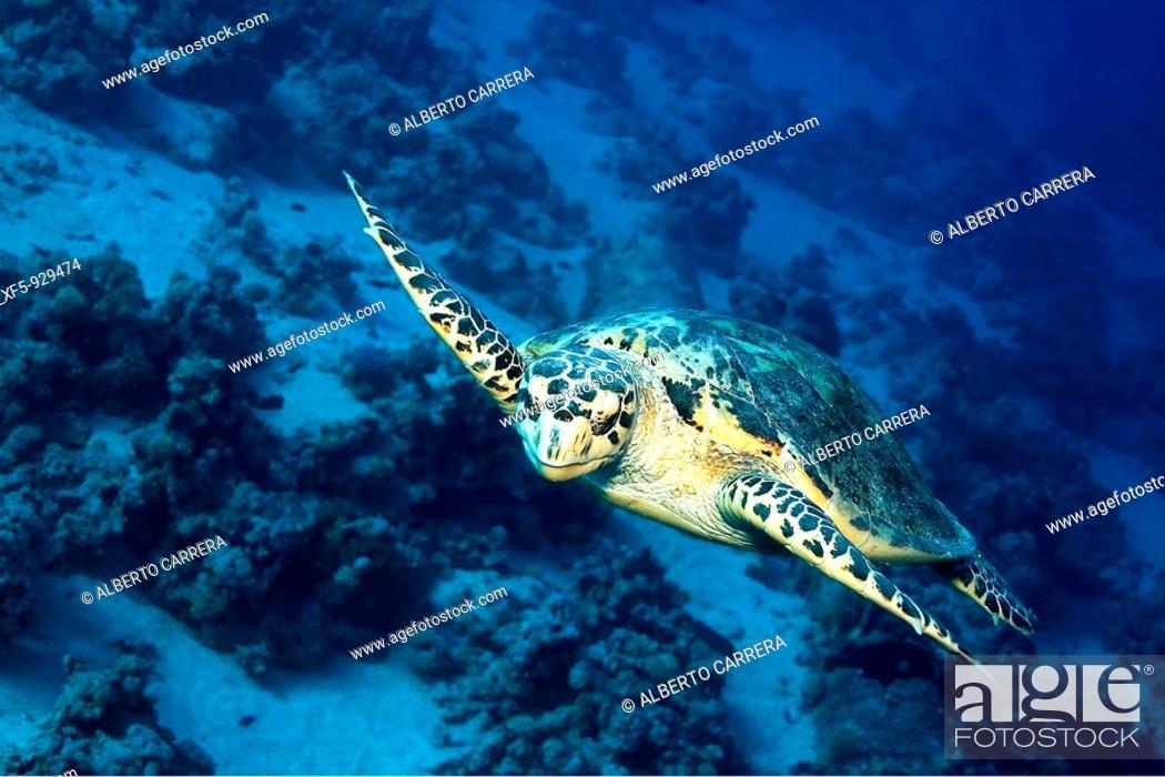 Stock Photo: Green turtle, Red Sea, Egypt.