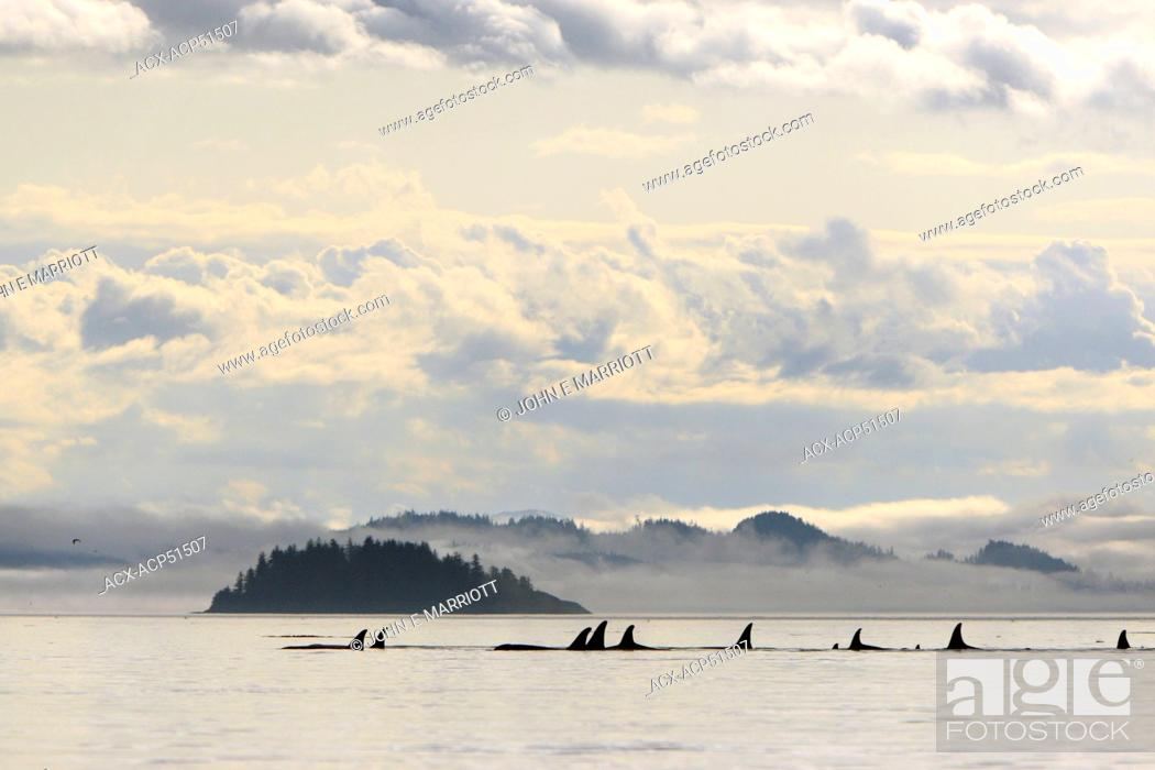 Stock Photo: Killer whale Orcinus orca, commonly referred to as the orca whale or orca pod in Johnstone Strait, BC, Canada.