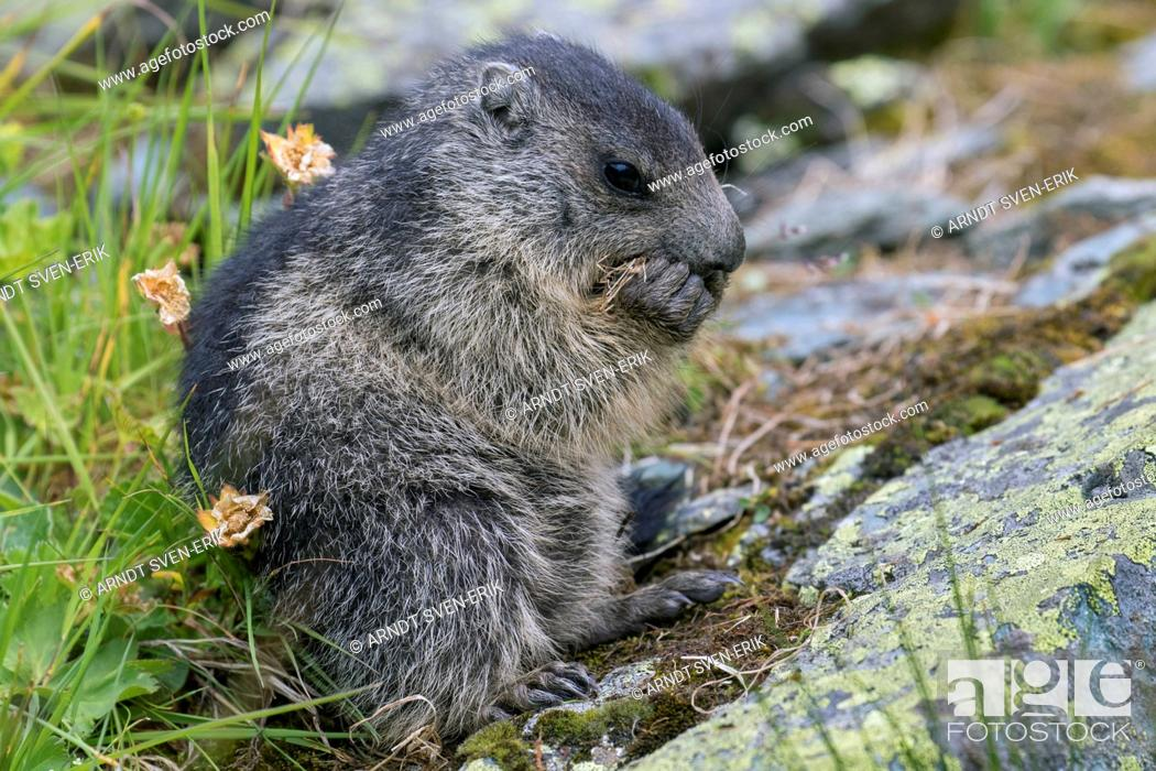 Stock Photo: Alpine marmot (Marmota marmota) juvenile feeding in alpine pasture in summer, Hohe Tauern National Park, Carinthia, Austria.