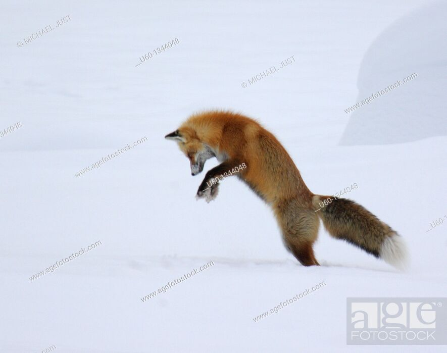 Stock Photo: A red fox dives under the snow to catch its prey in a technique called 'mousing' at Yellowstone National Park.
