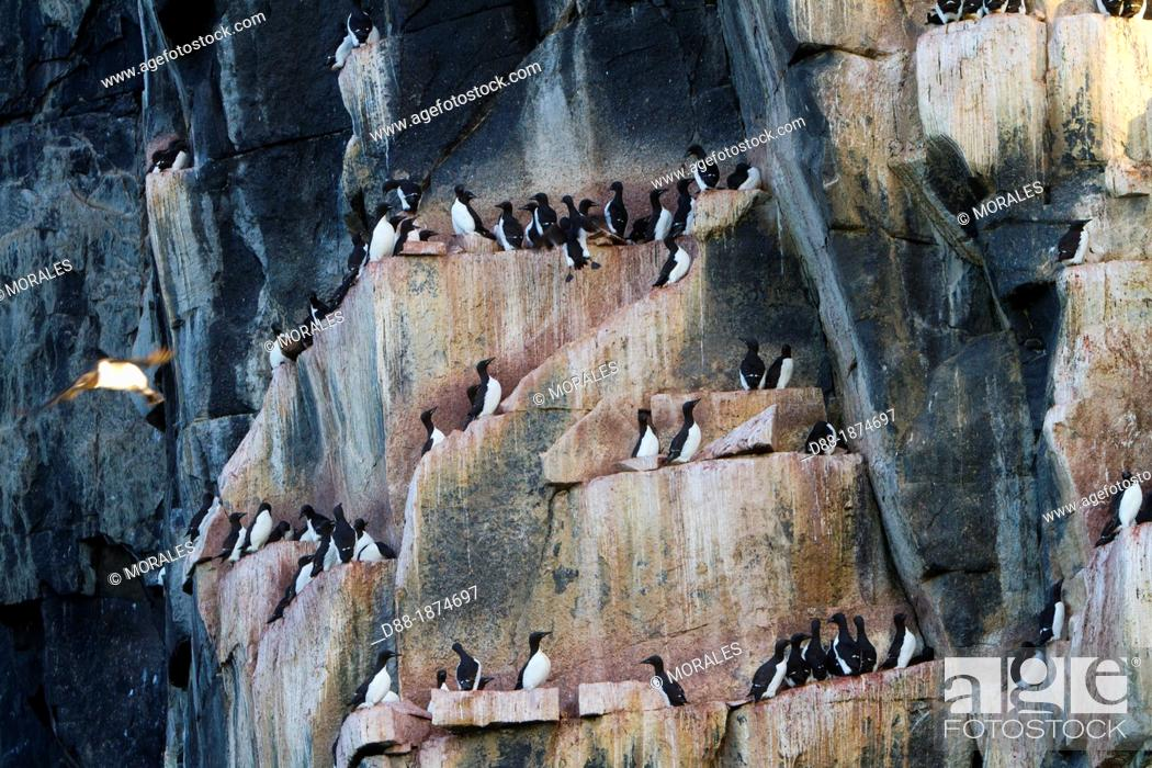 Stock Photo: Norway , Spitzbergern , Svalbard , Hinlopenstretet , colony of Alkefjellet , Rocks , Bird colony, Thick-billed Murre or Brünnich's Guillemot Uria lomvia and.
