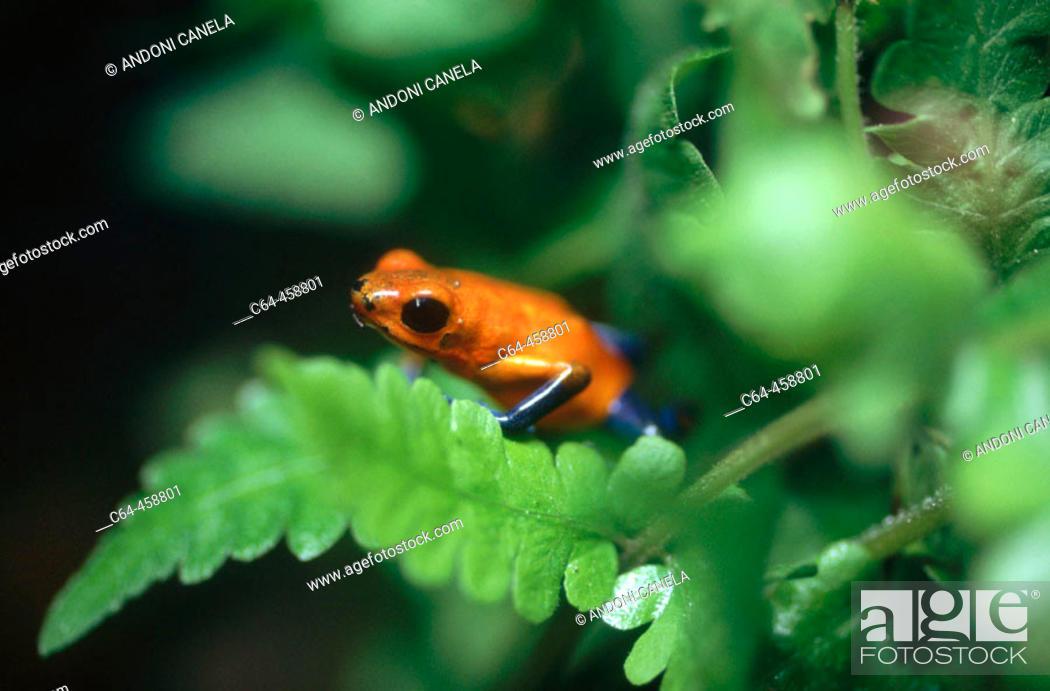 Stock Photo: Frog. Tortuguero National Park. Costa Rica.