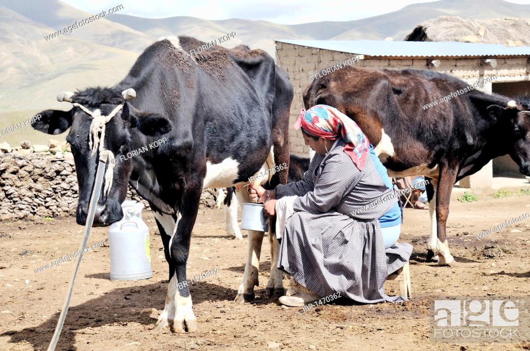 Stock Photo: Dairy cow farming, woman milking cow, Altiplano Bolivian highland, Oruro Department, Bolivia, South America.