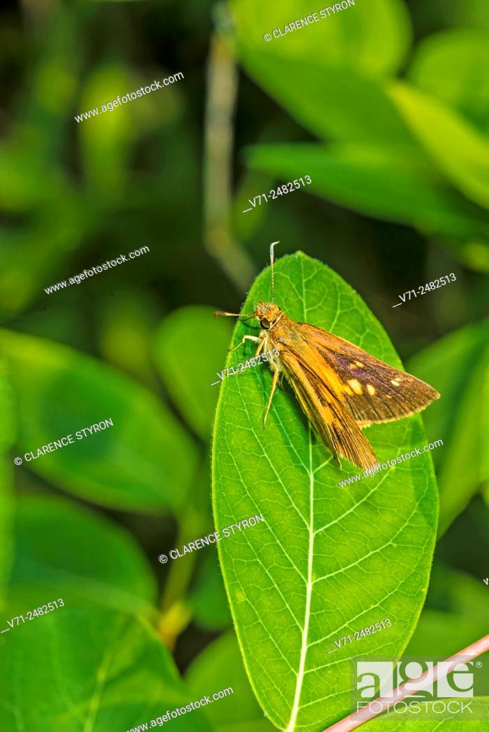 Stock Photo: Broad-winged Skipper (Poanes viator) on Indian Hemp (Apocynum cannabinum) Leaf.