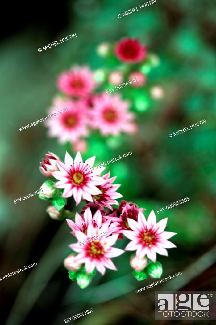 Stock Photo: flowers Joubard or Jupiter&39, s beard, Sempervivum tectorum = Botany is a succulent family Crassulaceae.