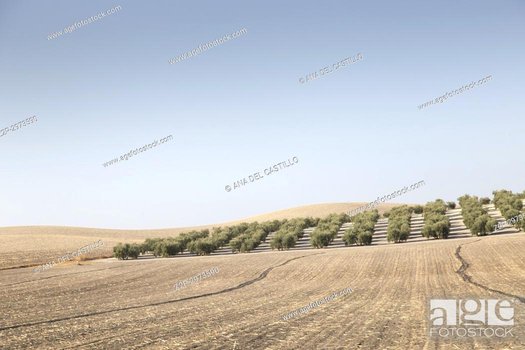 Stock Photo: Country landscape with olive trees in Seville province, Andalusia, Spain.