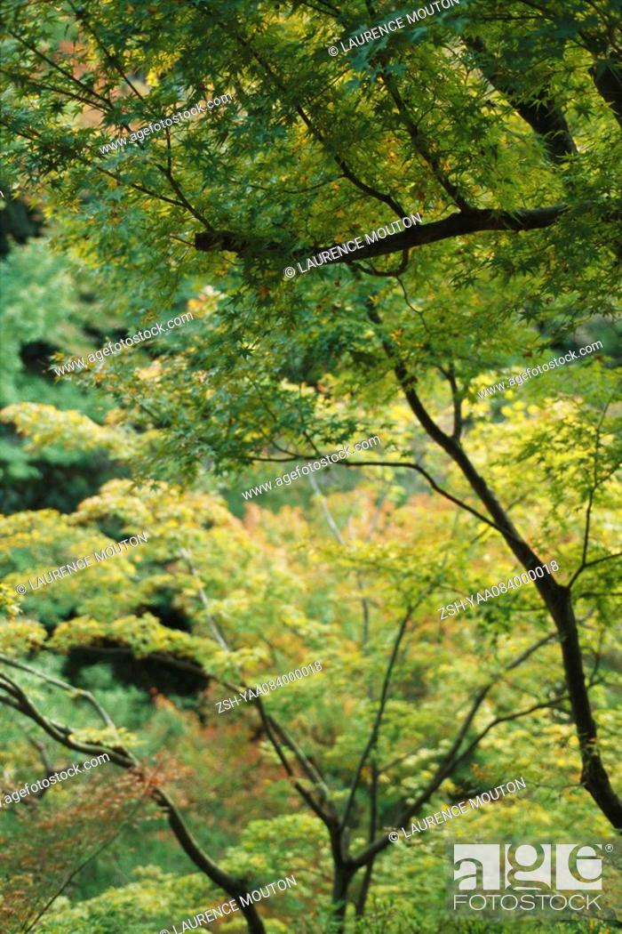 Stock Photo: Bough of Japanese Maple stretching above young forest.