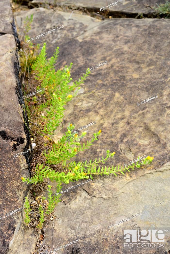 Stock Photo: Te de roca (Jasonia glutinosa, Jasonia saxatilis or Chiliadenus glutinosus) is a medicinal perennial herb native to eastern Spain.