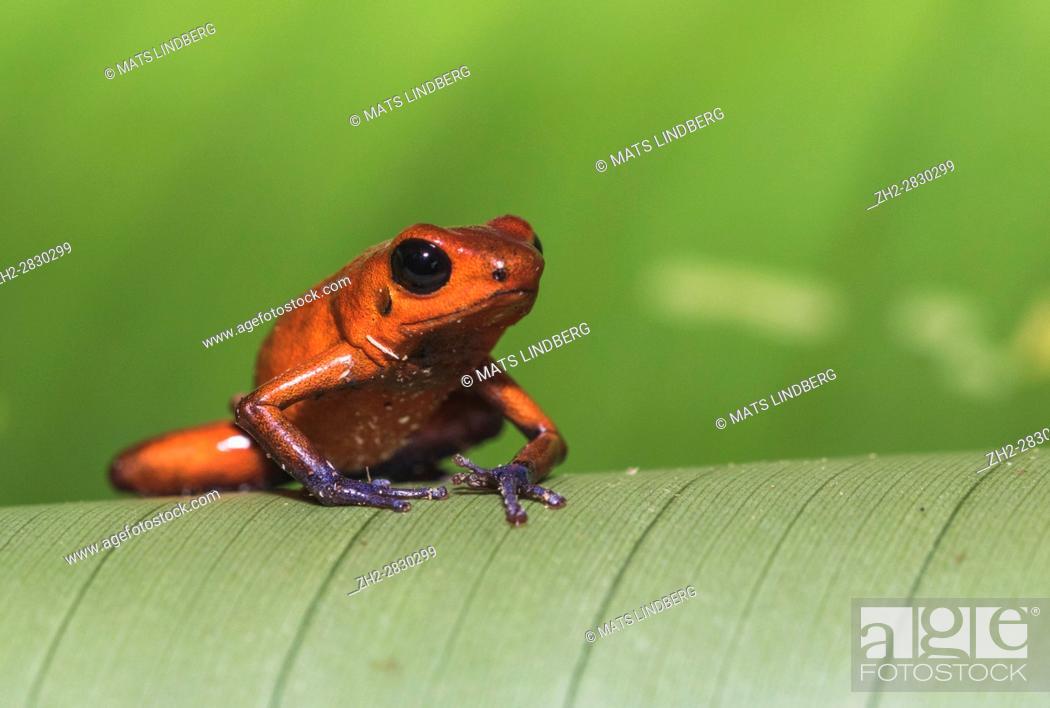 Stock Photo: Blue-jeans Frog or Strawberry Poison-dart Frog, Dendrobates pumilio, sitting on a green banan leaf in rainforest at Laguna del Lagarto, Boca Tapada, san Carlos.