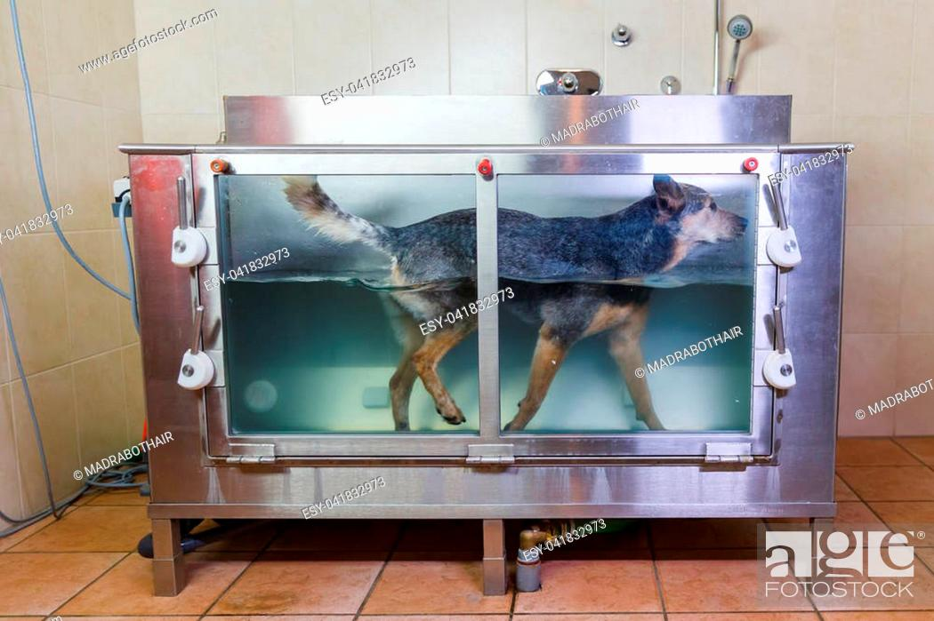 Stock Photo: picture of an Australian Cattledog in a hydrotherapy station.