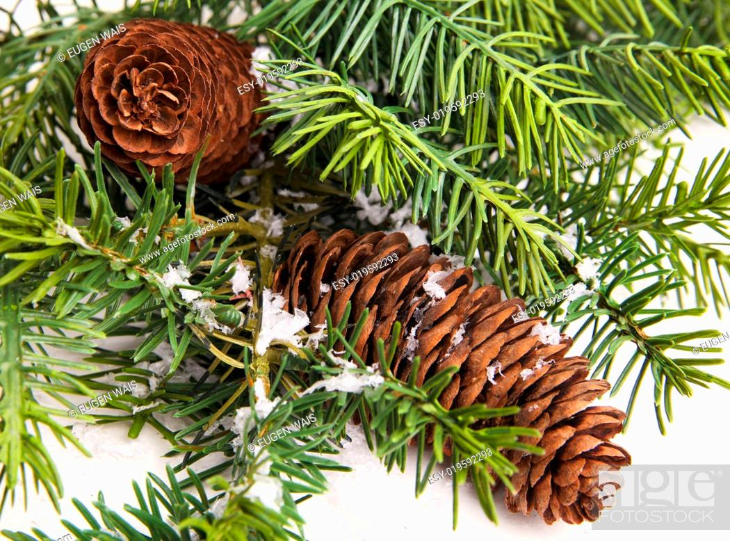Stock Photo: pine cone with branch. Cones in pine tree branch isolated on the white backgroun.