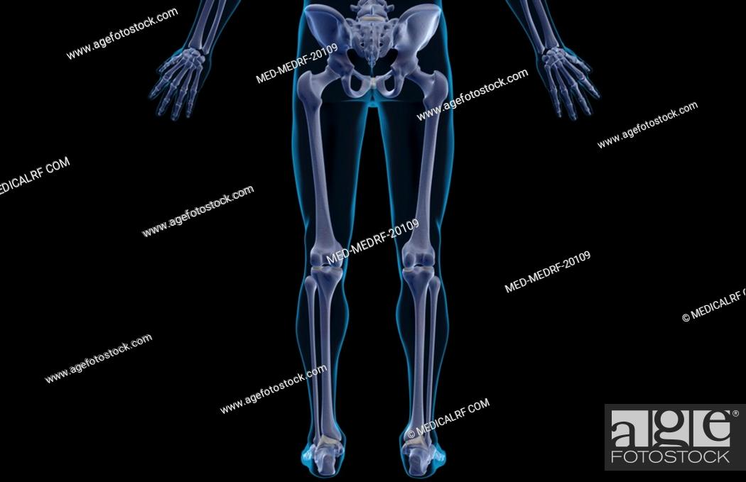 Stock Photo: The bones of the lower body.