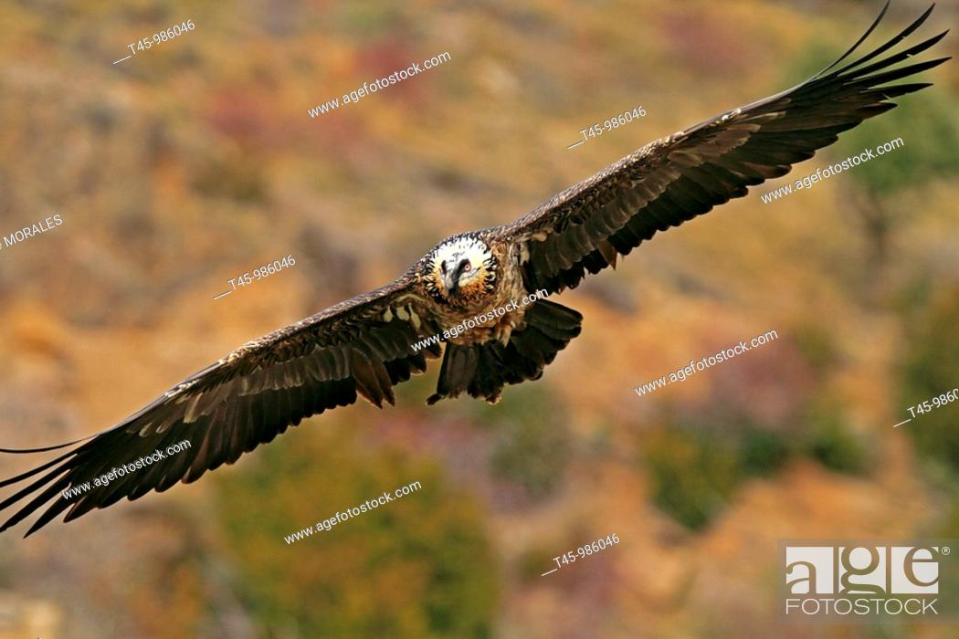 Stock Photo: Lammergeier (Gypaetus barbatus), Pyrenees Mountains, Spain.
