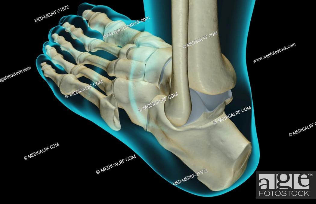 Photo de stock: The bones of the foot.