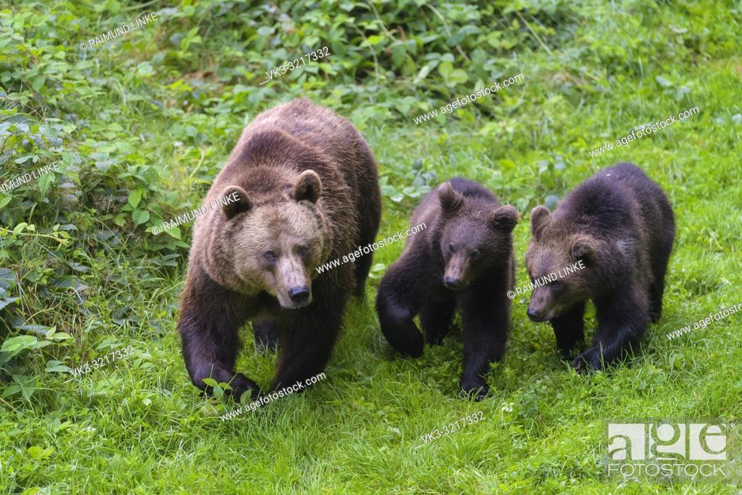Stock Photo: Brown bear, Ursus arctos, female with two cub, Germany.