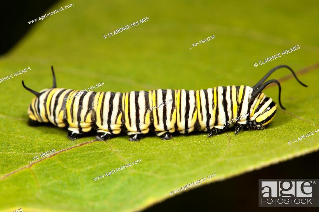 eef76aa1 Stock Photo - Monarch Butterfly Danaus Plexippus caterpillar larva 5th  instar on a Milkweed plant leaf, Ward Pound Ridge Reservation, Cross River,  ...