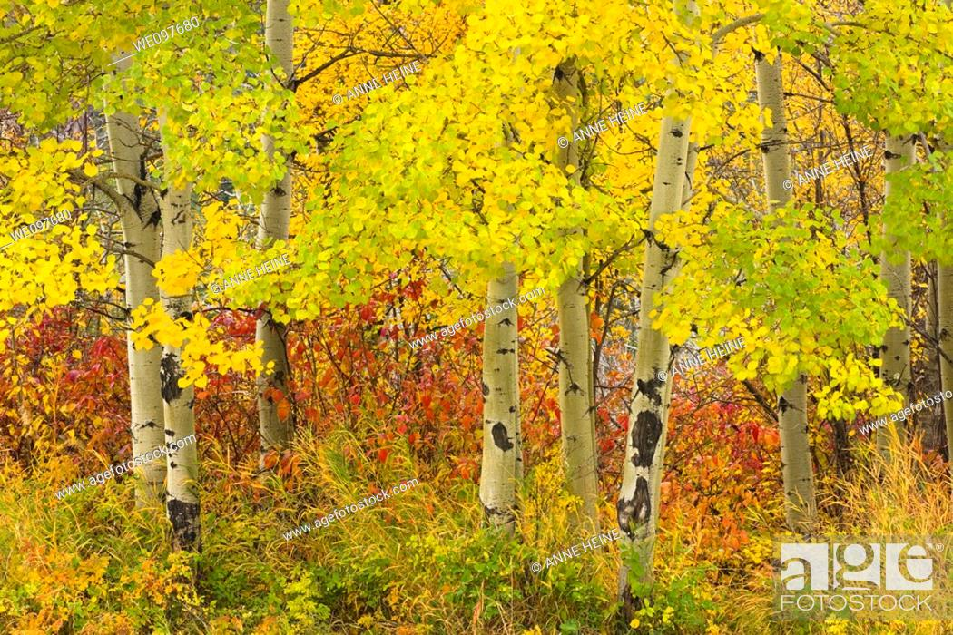 Stock Photo: colors of autumn with aspen trunks.