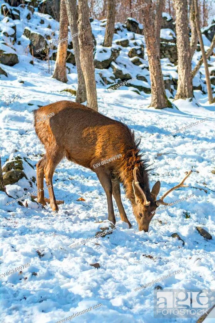 Stock Photo: beautiful deer on snow land, young high deer looks at us. Taiga.