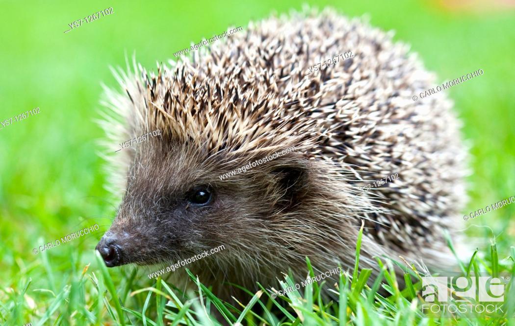 Stock Photo: Hedgehog in the garden, Venice, Italy.