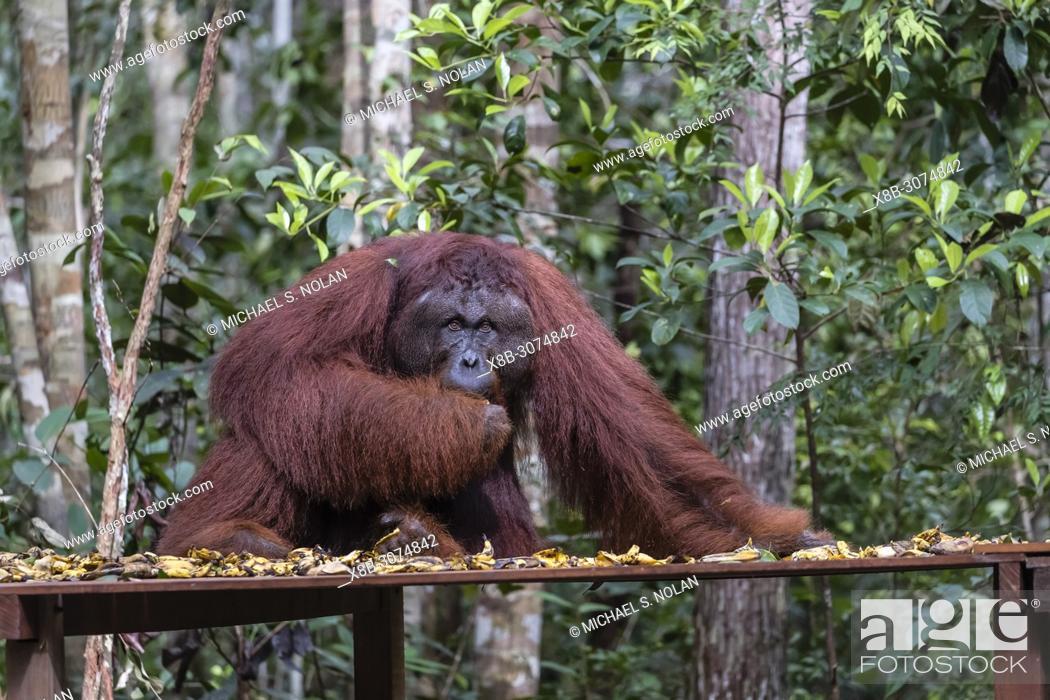 Stock Photo: Male Bornean orangutan, Pongo pygmaeus, at Camp Leakey feeding platform, Borneo, Indonesia.