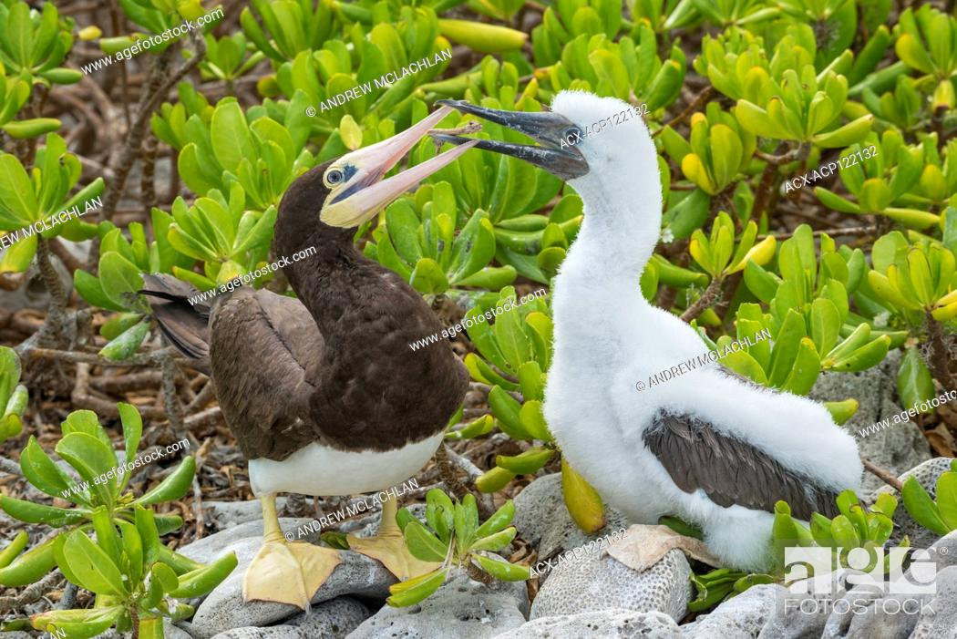 Imagen: Brown Booby with chick (Sula leucogaster), Cayman Brac, Cayman Islands, British West Indies.