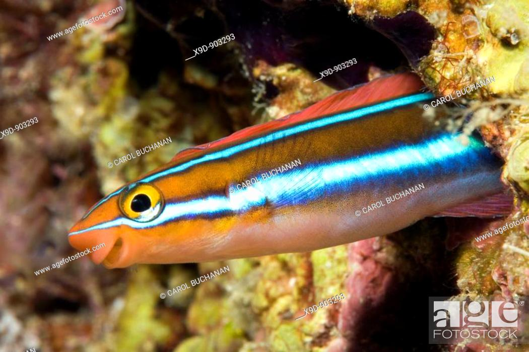 Stock Photo: a bluestriped fangblenny, peering out of a hole in the reef.