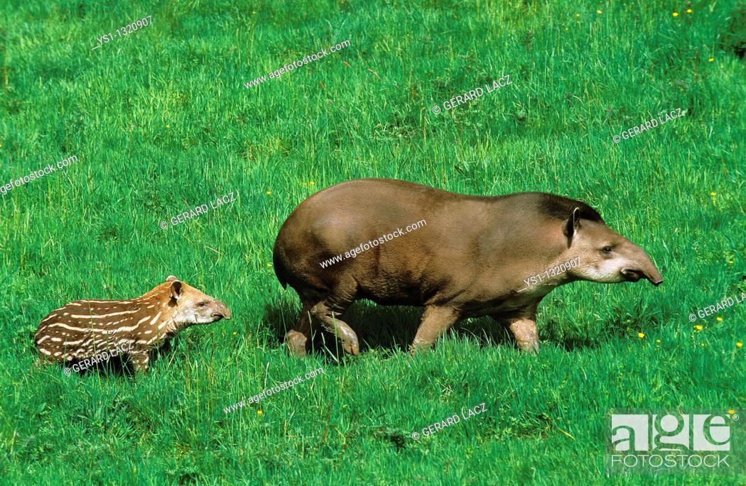 Stock Photo: LOWLAND TAPIR tapirus terrestris, FEMALE WITH YOUNG.